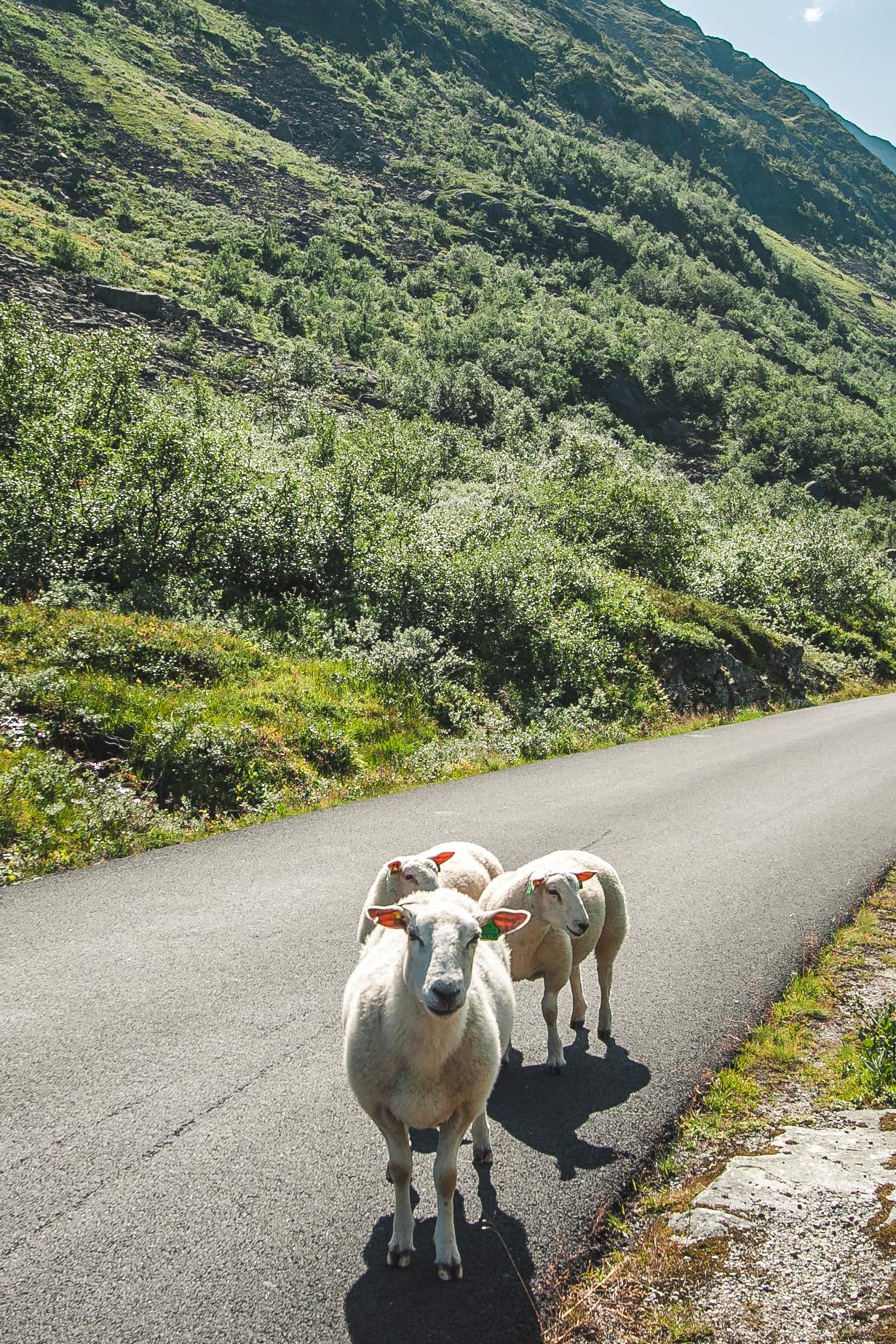 norwegia zwierzęta