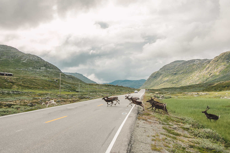 gdzie zobaczyć renifery norwegia