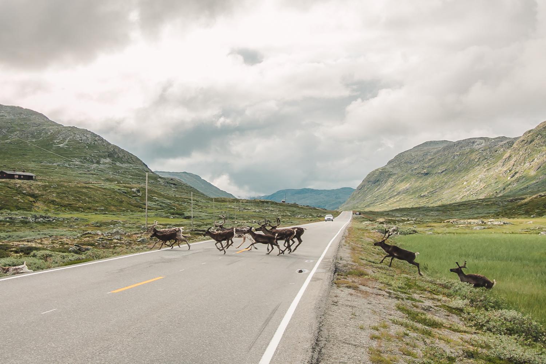 renifery w norwegii i szwecji