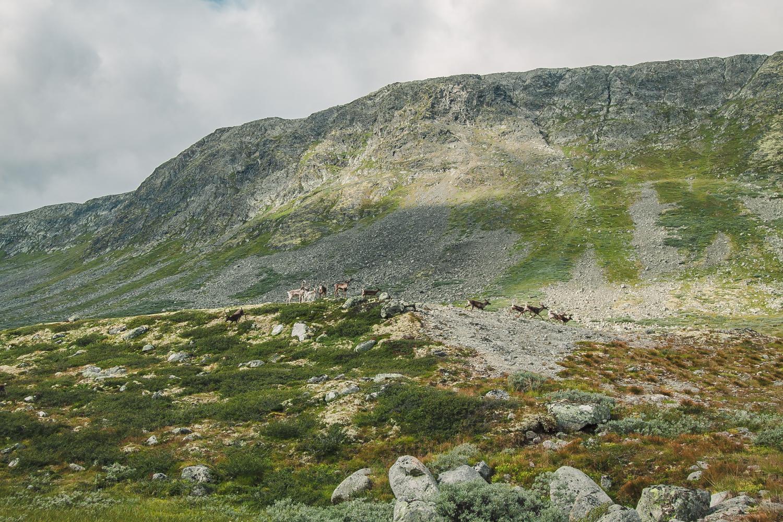 renifery w norwegii