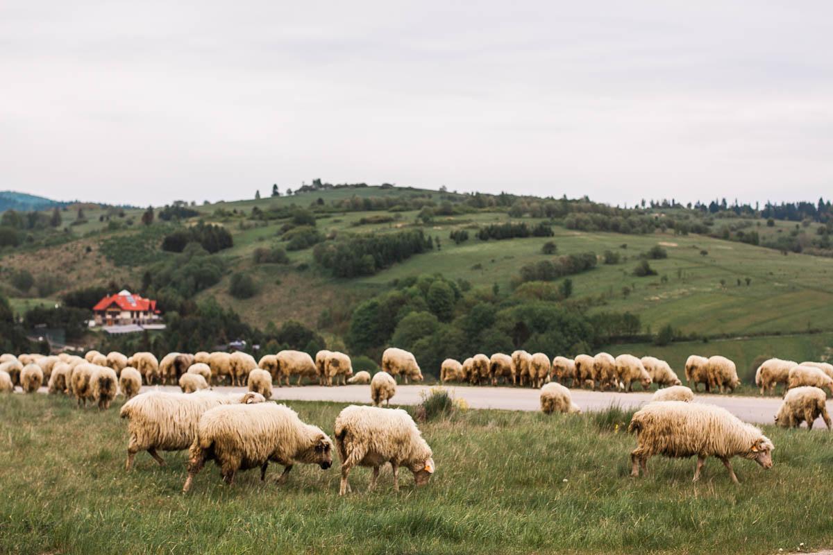 owce nad jeziorem czorsztyńskim