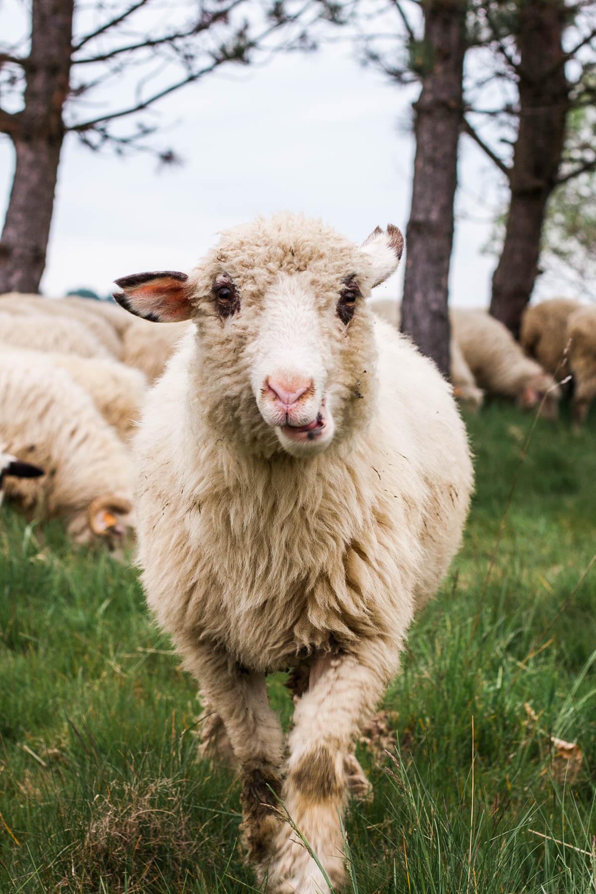 stawo owiec