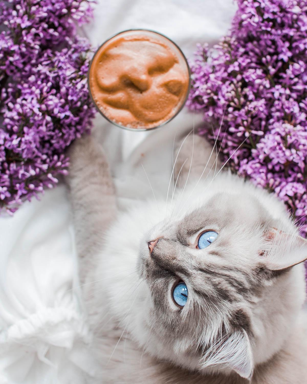 jaki charakter ma kot rasy ragdoll, hodowla kotów